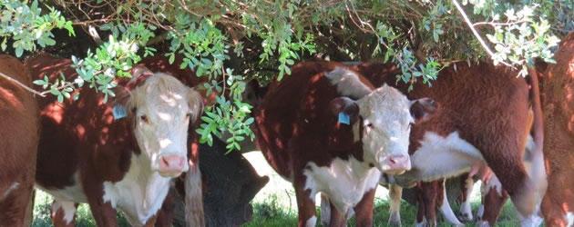 cattletags